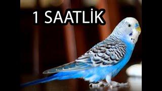 Kuşunuzu Kesin Öttürecek Muhabbet Kuşu Sesi! (1 Saat!)