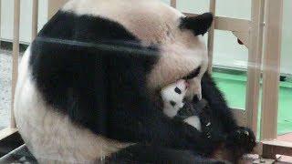 こんにちは、赤ちゃんパンダ♪お母さんに愛情いっぱいもらってすくすく成長しています!!9月23日の午後#アドベンチャーワールド