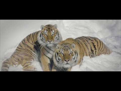 Тигры и дрон.