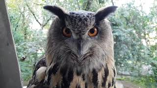 Eagle-Owl Yoll goes out in the day and makes an angry hoot and a few screamers