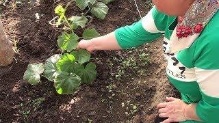 Огурец Кураж рассадой высаживаю в грядки по заданию 7ДАЧ