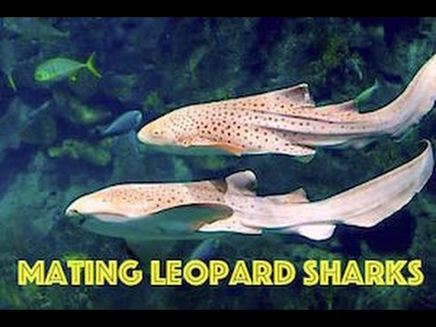 Leopard Sharks, Phi Phi Island, Thailand | Underwater HD Video by Freedom Divers Phuket