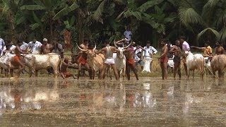 Bull racing - Kakkoor Kalavayal near Kochi