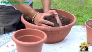 Bulbous Plants