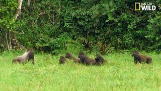 Affrontement entre gorilles à dos noir et à dos argenté
