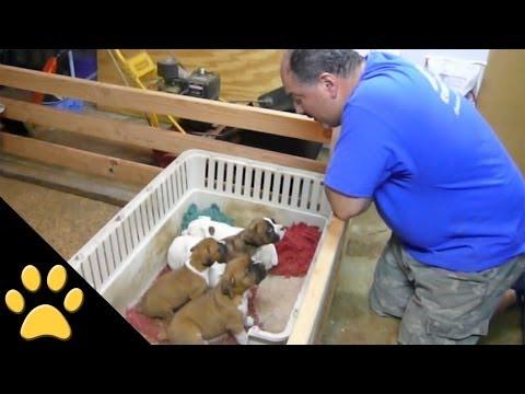 סרטון מקסים של גבר מרדים קבוצת כלבלבים עם שיר ערש