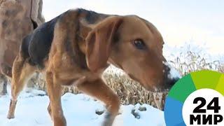 Гончак: в Беларуси восстанавливают национальную породу собак - МИР 24