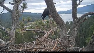 Big Bear Eagles * CONGRATULATIONS SIMBA!!! * FLEDGE DAY at 100 Days Old!! * XOXO * 7/23/19