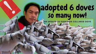 Adopted Eurasian Collared Dove