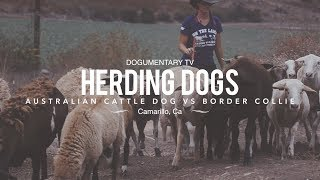 HERDING DOGS: BORDER COLLIE VS. AUSTRALIAN CATTLE DOG