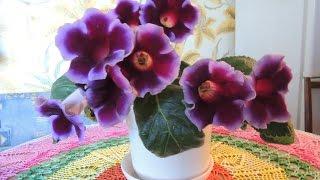 Уход за домашними цветами.  Глоксиния.
