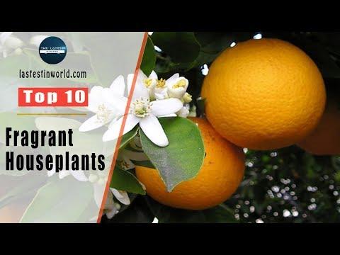 Top 10 Fragrant Houseplants