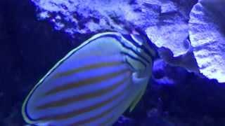 ハナグロチョウチョウウオ(沖縄美ら海水族館):Ornate butterflyfish(Okinawa Churaumi Aquarium