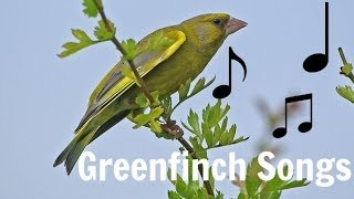 GREENFINCH SONGS MP3