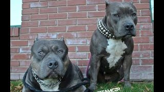 American Bully Can Talk & Answer Questions - Czr Compilation 2015