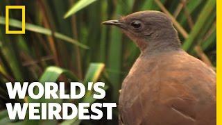 Bird Mimics Chainsaw, Car Alarm and More | World's Weirdest