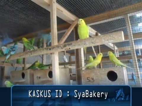 Video Budidaya Burung Parkit . Cek Harga dan Cara Perawatan Burung Parkit di LINK bawah ini