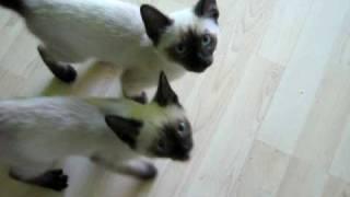 Talking Siamese kittens !   SUPER CUTE!