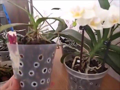 Уход за орхидеей в домашних условиях. Как поливать фаленопсис.