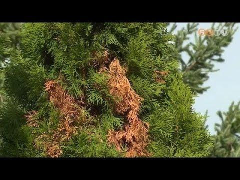 szarvasmarha szalagféreg- spirál)