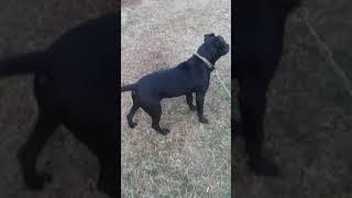 gator pitbull - Free video search site - Findclip Net