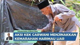 Kakek 83 Tahun Taklukan Harimau Liar, Carwani Dikenal sebagai Pawang Raja Hutan dari Aceh