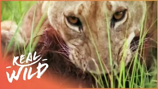 Lions On The Hunt For Baboons | Monkey Hunters | Wild Things Shorts