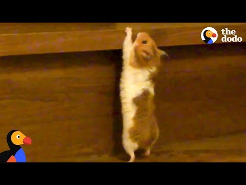 DETERMINED Hamster Climbing Stairs | The Dodo