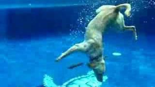 Пёс-фридайвер