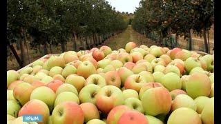 60 дней на крымских яблоках