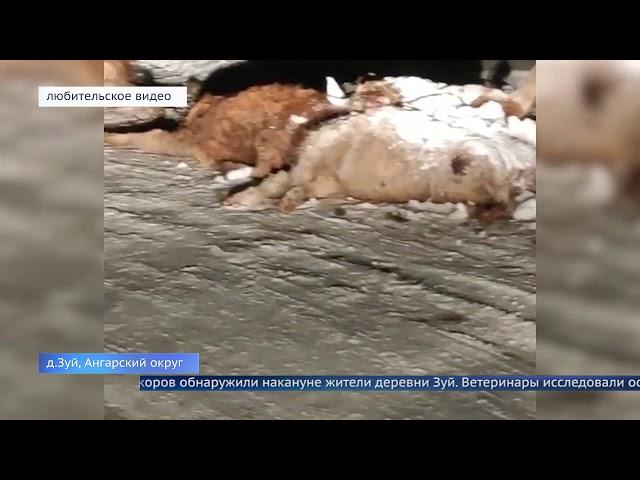 Мертвый скот обнаружили в деревне Зуй