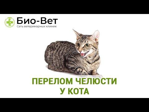 Перелом челюсти у кота. Ветеринарная клиника Био-Вет.
