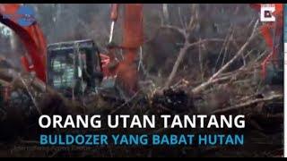 VIDEO <a href='https://www.indopos.co.id/index.php/video/2019/04/24/172981/orang-utan-tantang-buldozer-yang-babat-hutan'>Orang Utan Tantang Buldozer yang Babat Hutan</a>