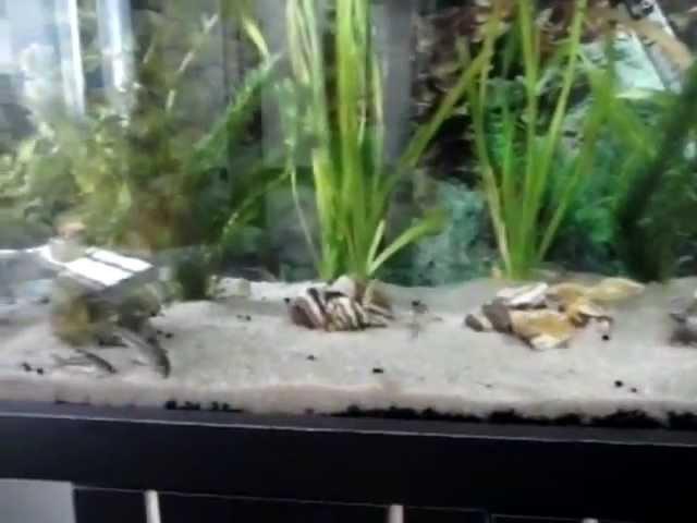 aquário plantado 72 litros - coridoras e barbos ouro