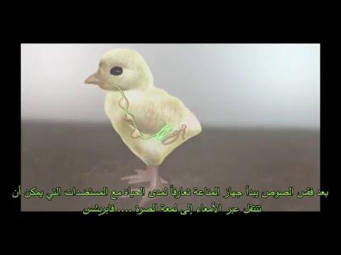 فيديو : خلايا B اللمفاوية وعلاقتها بصرة فابريشس (جراب فابريشس)  رسم توضيحي ثلاثي الأبعاد يبين تطور مختلف خلايا B في عضوية الطيور والدجاج المستأنس من خلال التحول الجيني الجداري.