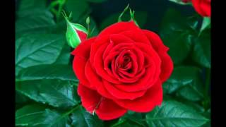 Snatam Kaur - By Thy Grace - Blooming Rose
