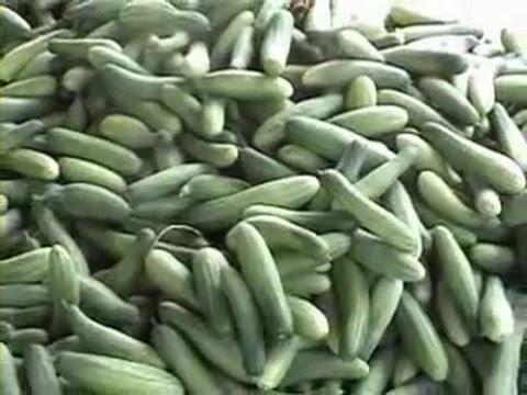 Video CARA MENANAM TIMUN HASIL SUPER MENGUNTUNGKAN