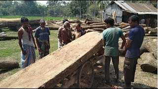 A Big Sized of Rain Tree Wood Cutting to Small Pisces in Rural Saw Mill by Experts Workers Firstly