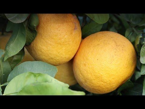 Продукт недели: грейпфрут