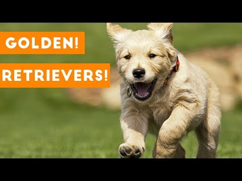 Funny And Cute Golden Retriever Puppies Compilation   Funny Pet Videos