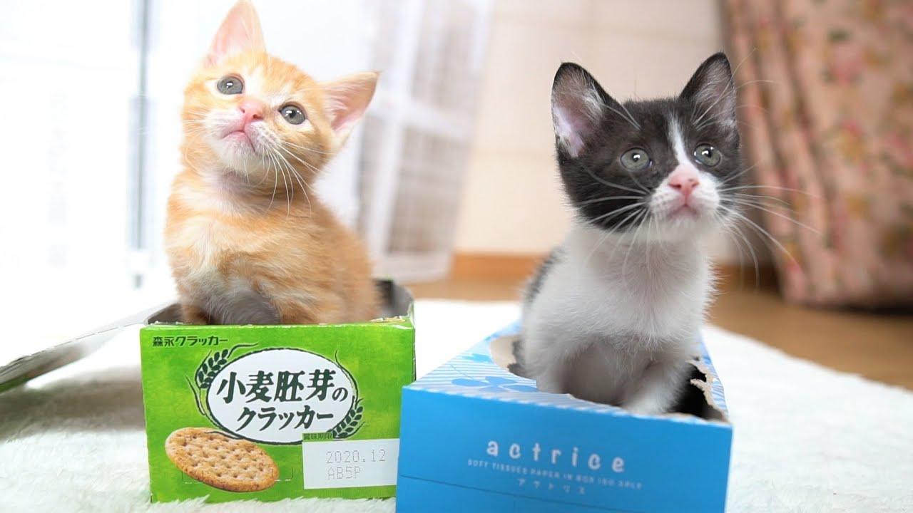 【生後43日】お気に入りの箱の取り合いをする子猫たち