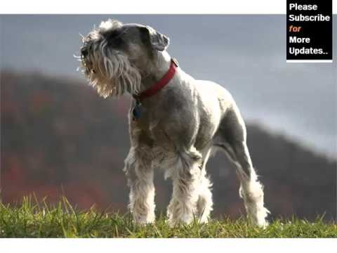 Collection Of Cute Pictures Of Dog Terrier Type | Miniature Schnauzer