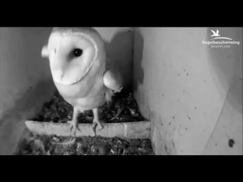 Barn Owls: Female Stretching Wings - 24.04.17