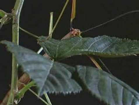 Stick insect - Natural History
