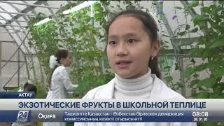 Экзотические фрукты выращивают в школьной теплице в Актау