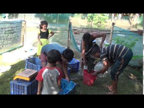 জাকির হোসেনের ১ কাঠা জমিতে শোল মাছ চাষ - Snakehead Fish Farming