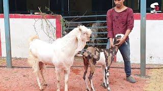 Hansa Goat Meet Female Goat At STAR GOATS FARM Asif STD