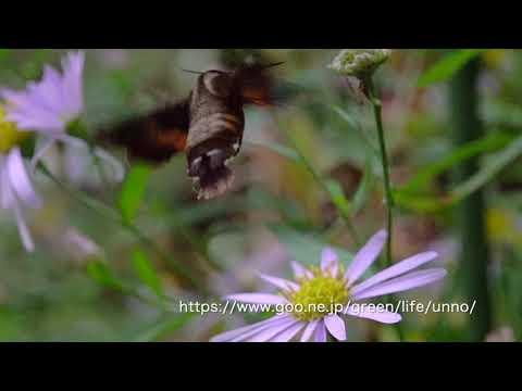 庭の花の蜜を吸うホシホウジャク