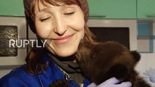Russia: Bear cubs Potap, Masha and Anfisa look for new home after being rescued by loggers