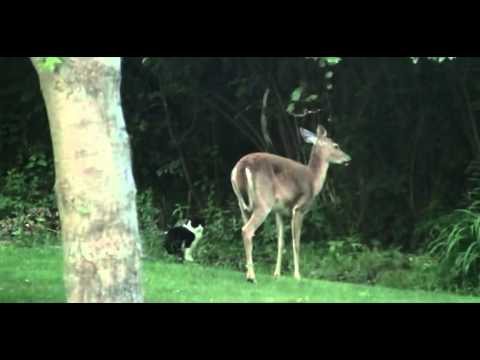 Cat Attack Deer